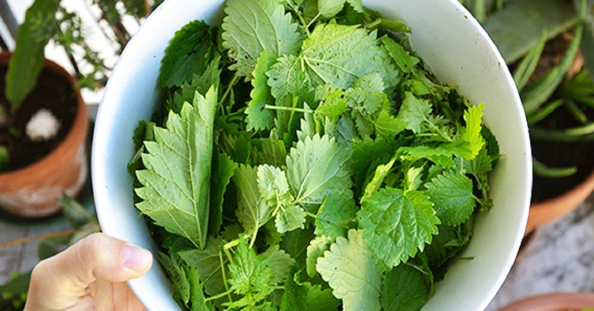 Listovi zelene koprive u zdjeli na stolu